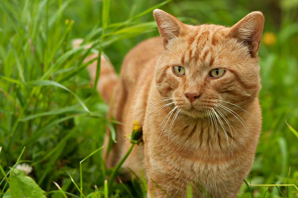Farm cat in tall grass.