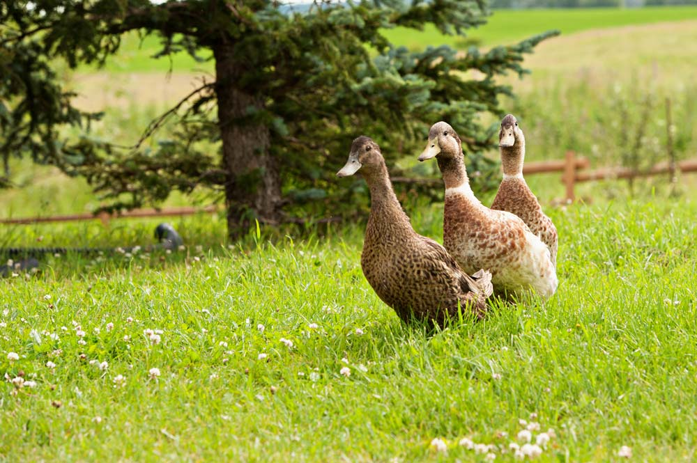 Three ducks in a row walking on the farm.